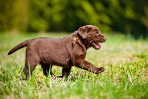 Gesunde Labrador Welpen