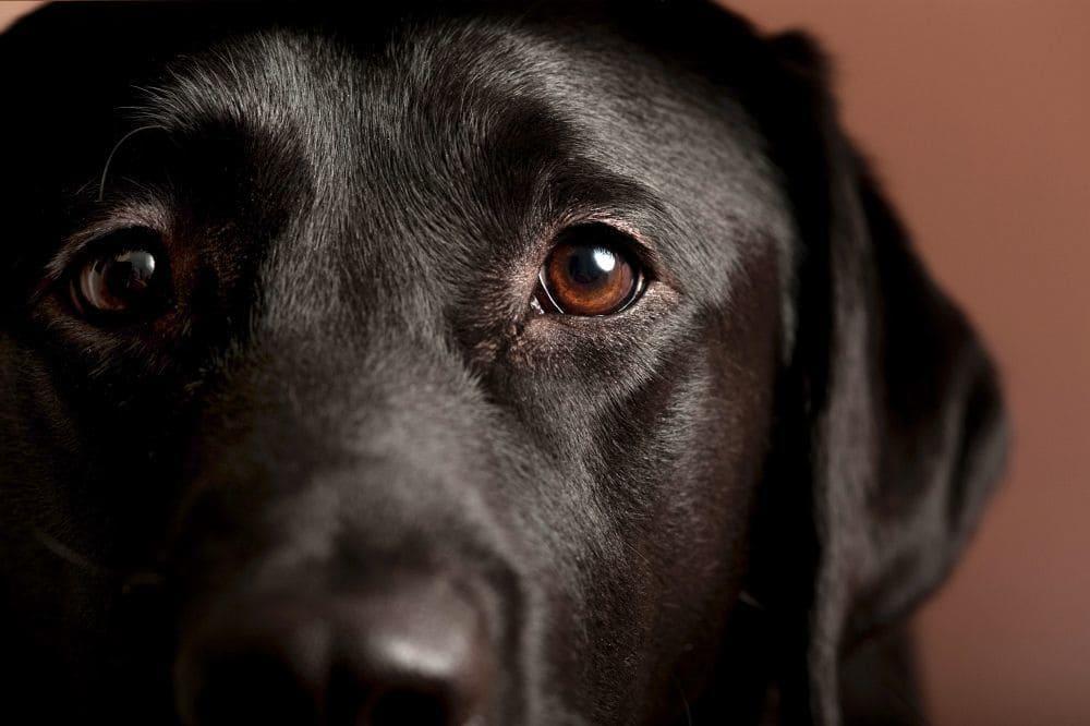 Labrador Augen Reinigen und Pflegen