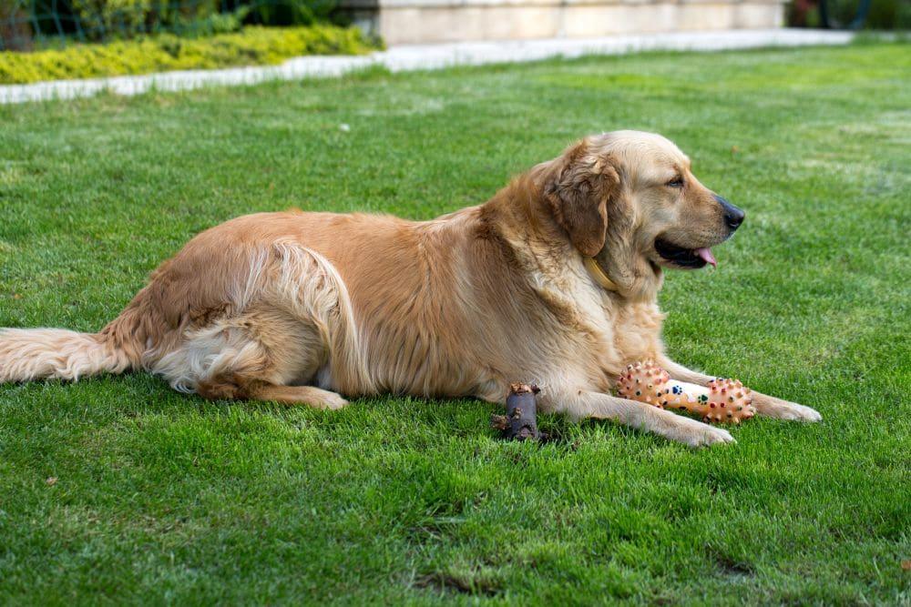 Labrador Golden Retriever Mischling