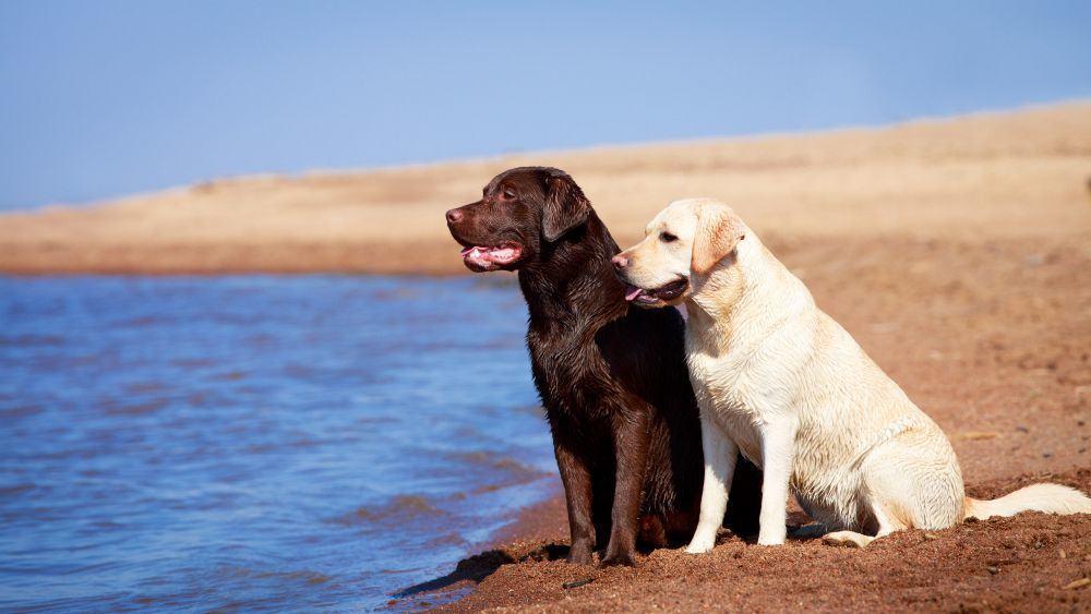 Urlaub an Nordsee oder Ostsee mit Labrador