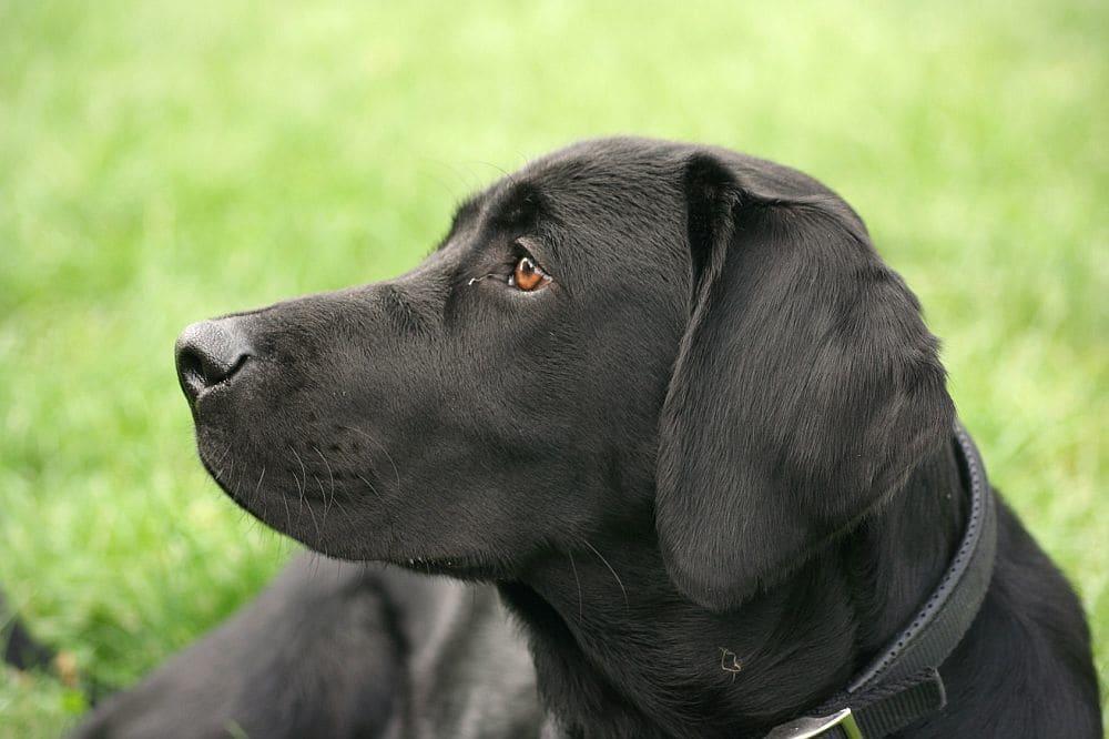 Labrador Ohrentzündung