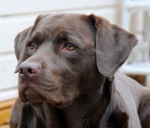 Labrador aus dem Tierheim
