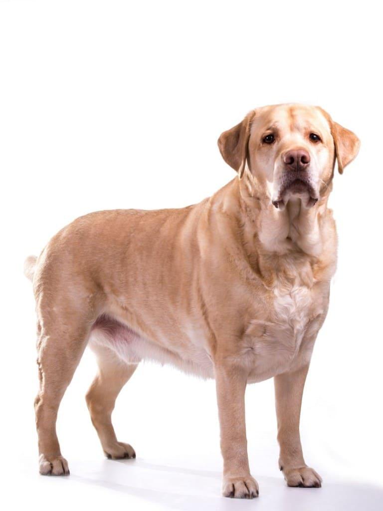 Labrador Übergewicht