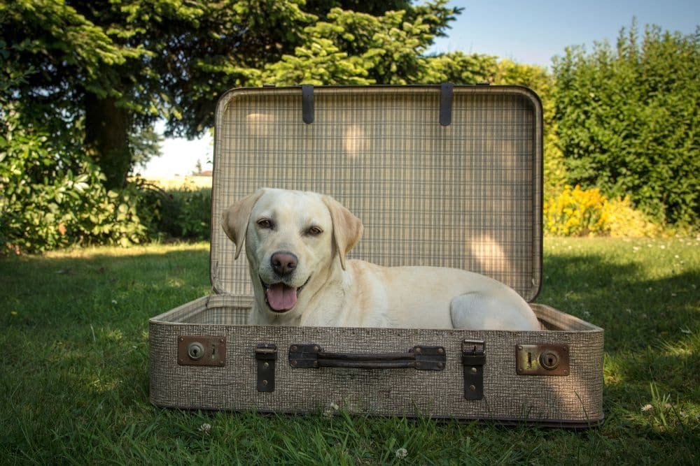 Labrador in Urlaub