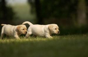 Labrador Welpen Züchter