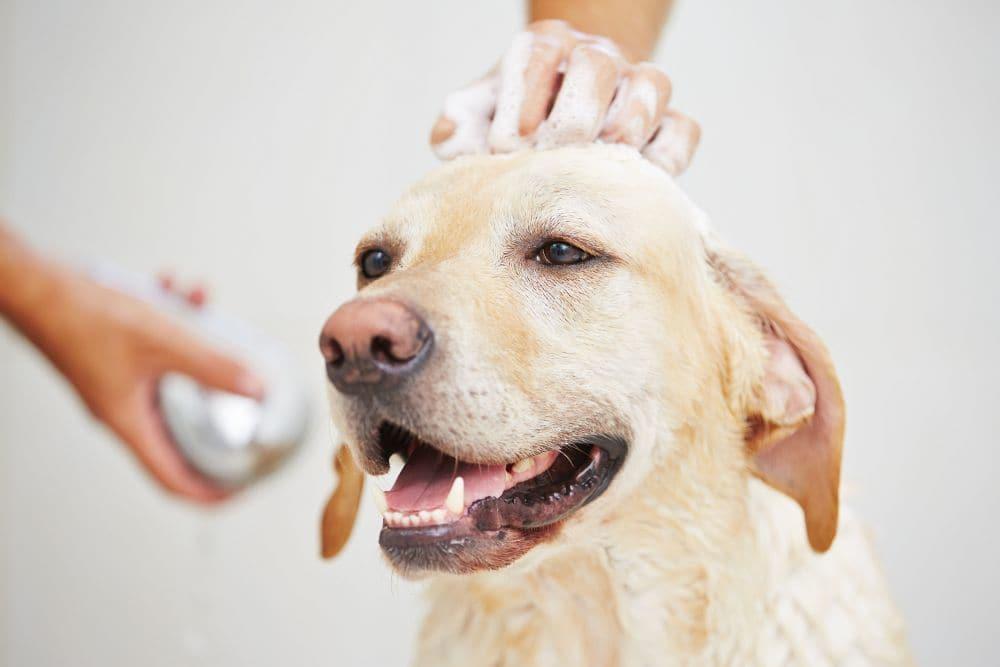 Labrador baden