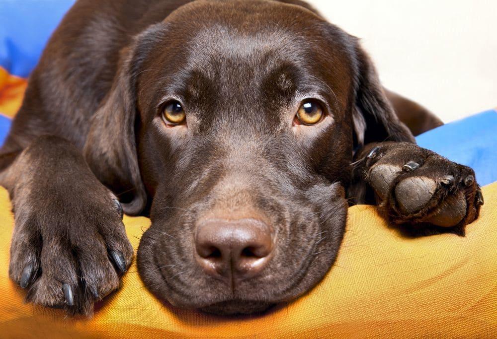 Labradore suchen ein Zuhause