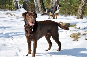 Streusalz Pfoten Labrador Winter Pflege