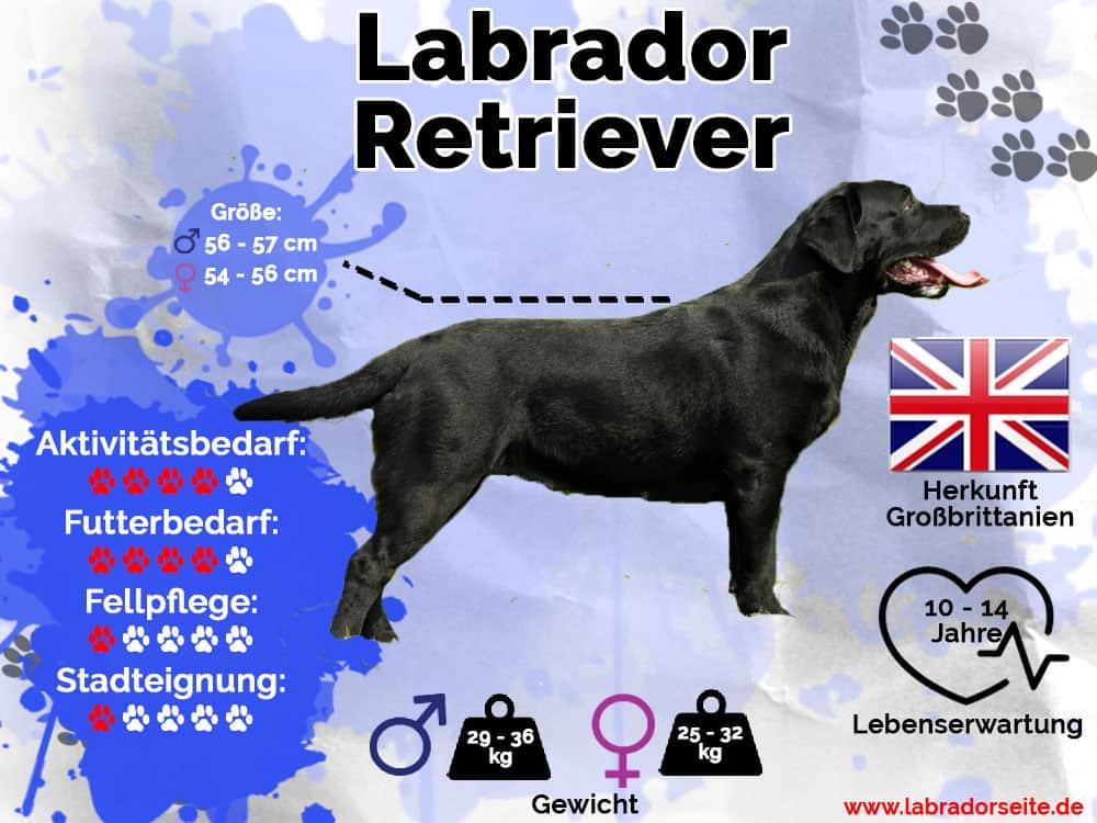 Labrador Retriever Infografik