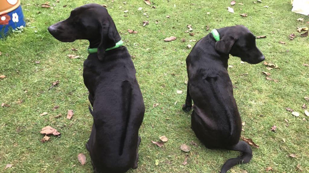 zwei Labrador Ridgeback Mischlinge auf dem Rasen