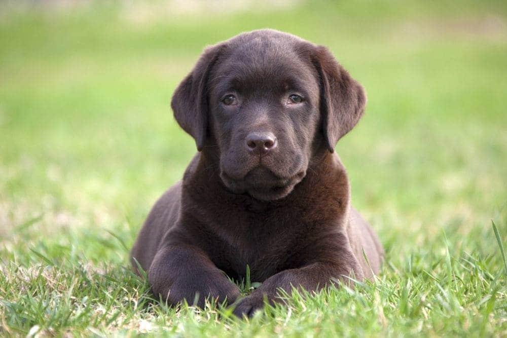 Labrador Welpe im Gras