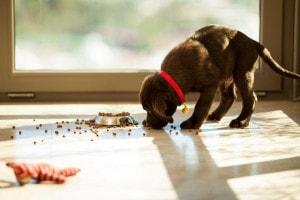 Labrador Welpen Futter