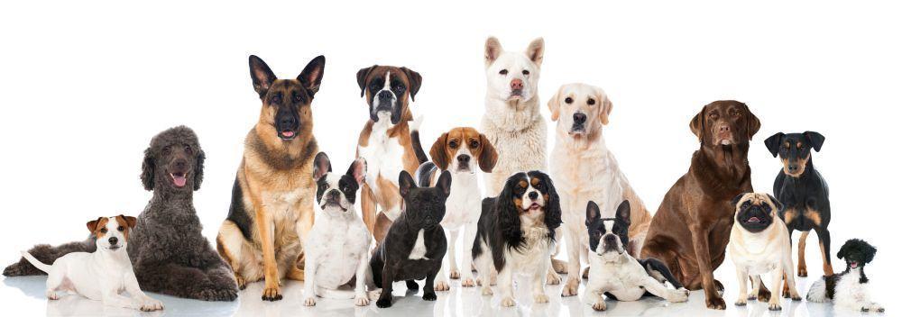 Lebensdauer des Labradors im Vergleich mit anderen Hunderassen