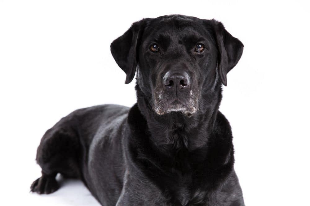 Ein Labrador kann mit ein paar Tricks ein hohes Alter erreichen.