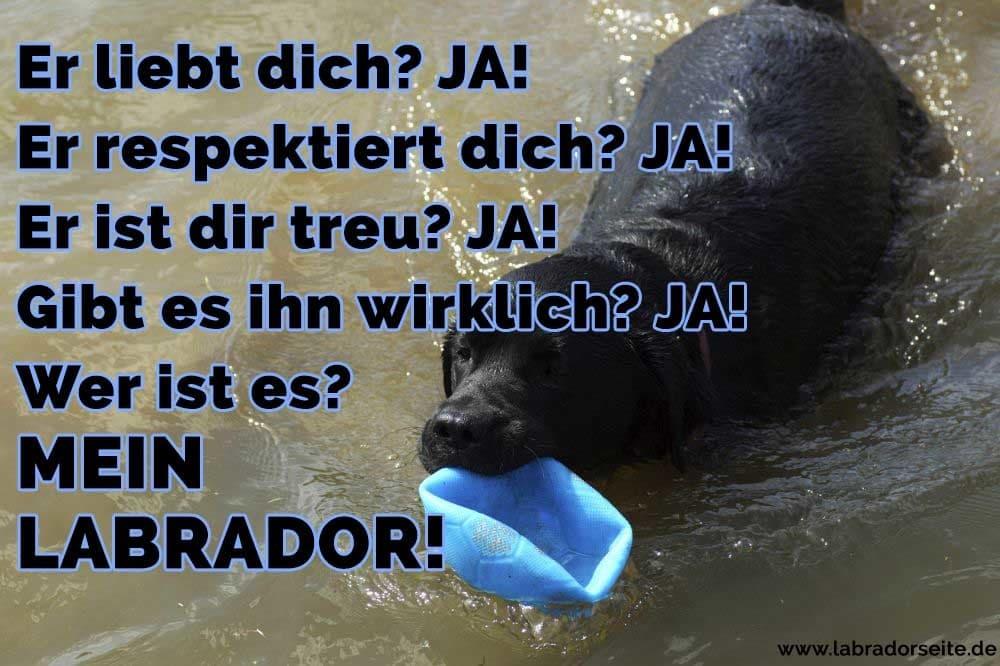 Ein Labrador kommt aus dem Wasser mit einem Ball.
