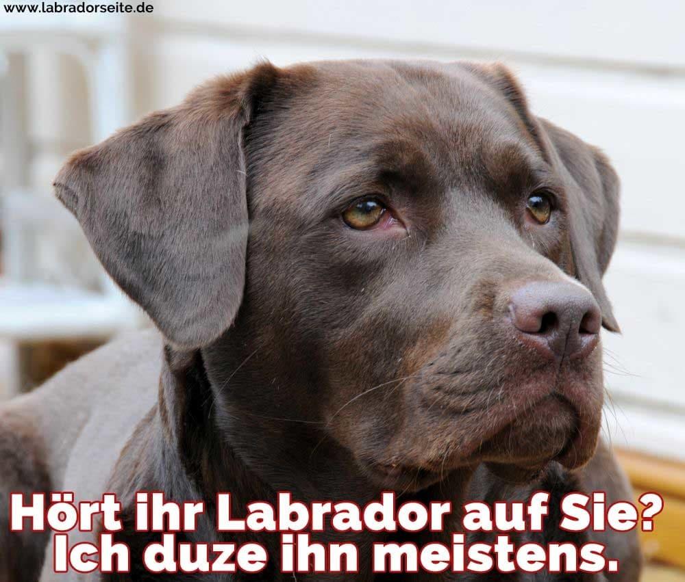 Ein trauriges Labrador