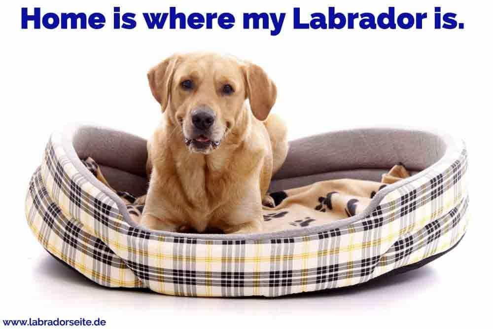 Ein Labrador sitzt auf seinem Bett