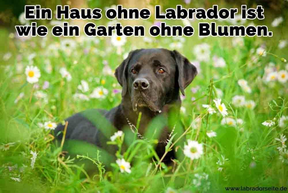 Ein Labrador im Garten mit Blumen