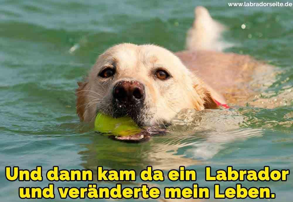 Ein Labrador Schwimmen im Meer
