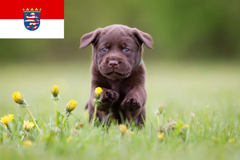 Labrador Züchter aus Hessen