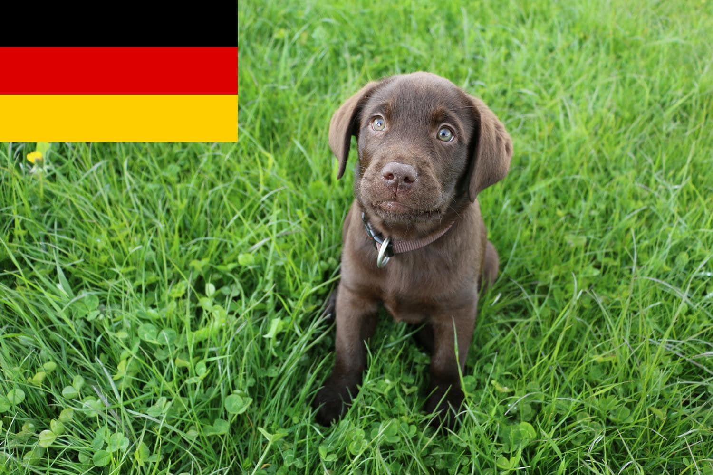 Labrador Züchter und Welpen in Deutschland