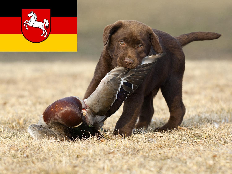 Labrador Züchter und Welpen in Niedersachsen