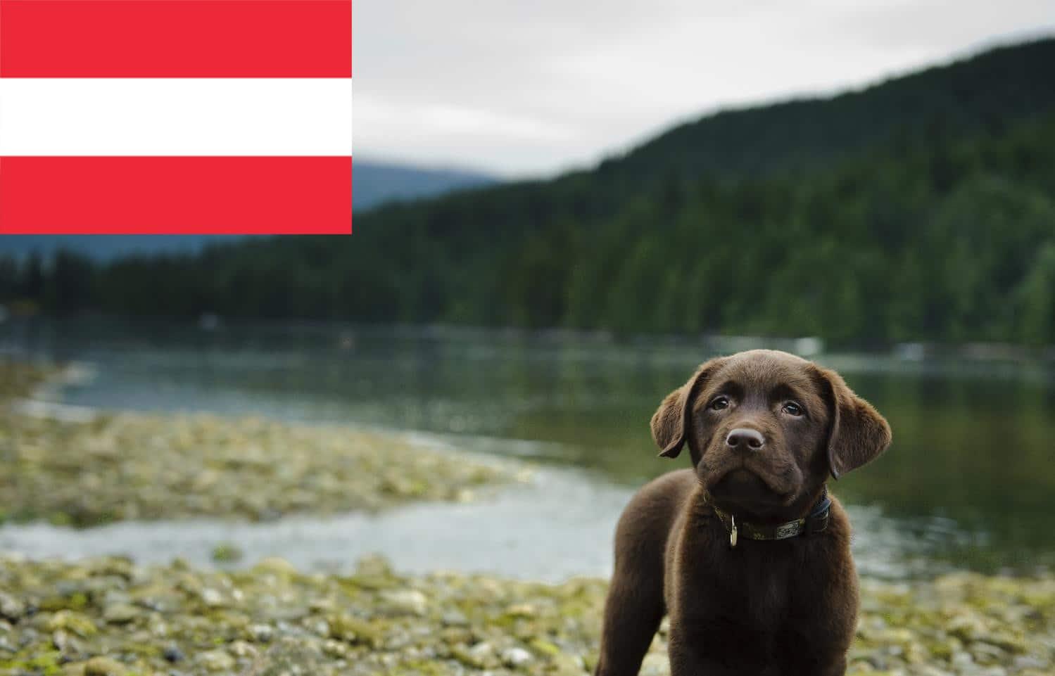 Labrador Züchter in Österreich