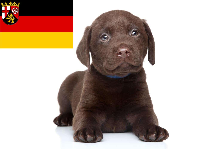 Labrador Züchter und Welpen in Rheinland-Pfalz