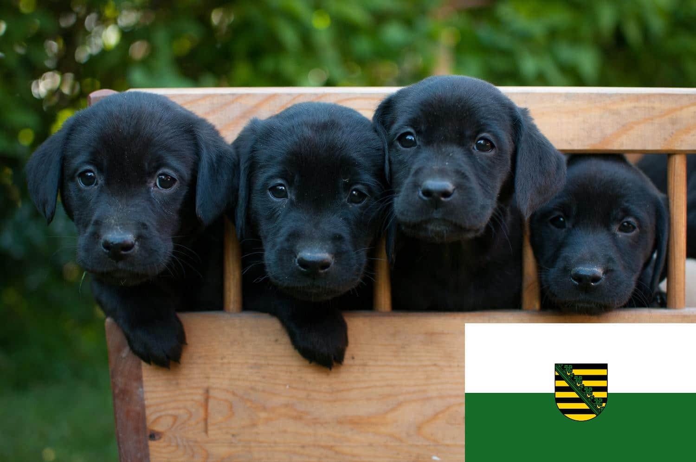 Labrador Züchter und Welpen in Sachsen