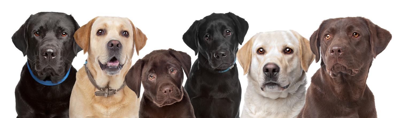 Anzeigen für Labrador in Not, Labrador Welpen und Labrador Deckrüden