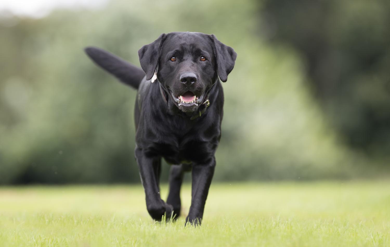 10 Fakten über den Labrador Retriever