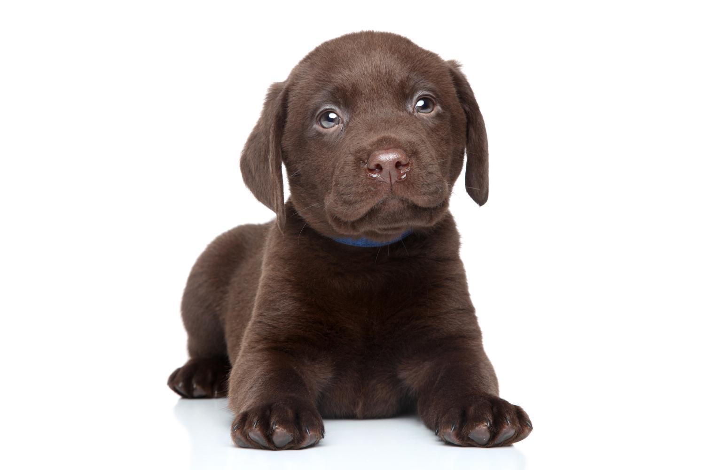 Labrador Anzeigen