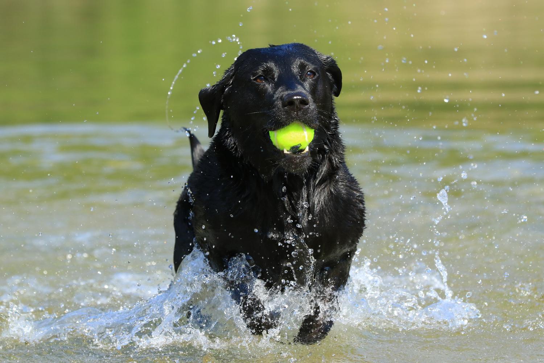 Labrador Retriever beschäftigen