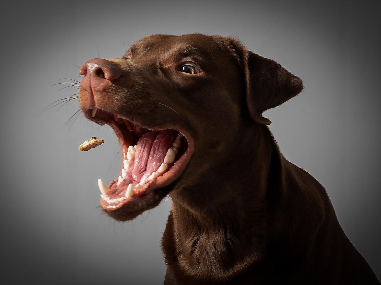 Labrador Ernährung und Futter