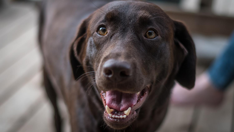 Gib einem Labrador in Not eine zweite Chance!