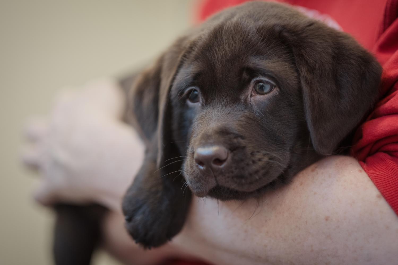 Labrador kaufen - worauf muss ich achten?