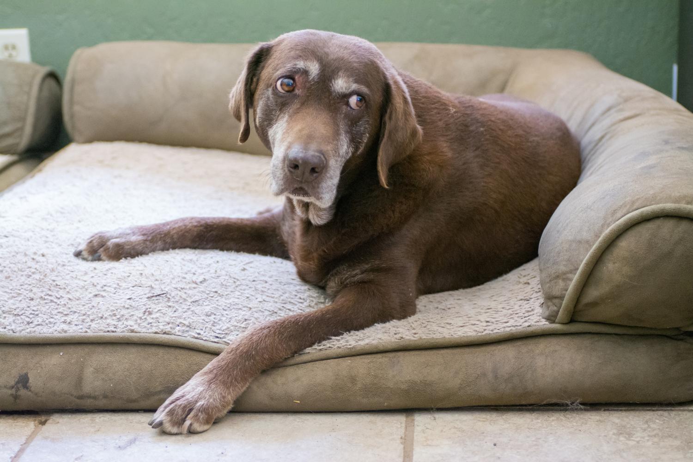 Labrador Lebenserwartung, Lebensdauer. Wie alt wird ein Labrador?