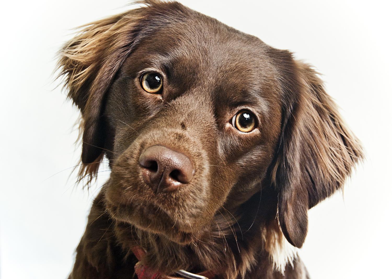 Labrador Mischling - worauf muss ich achten?