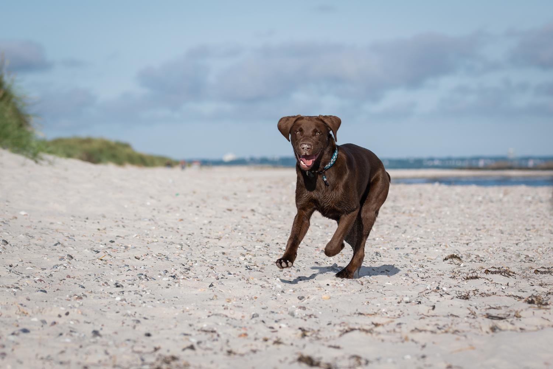 Mit dem Labrador Reisen und Urlaub machen. Die schönste Zeit des Jahres zusammen verbringen.