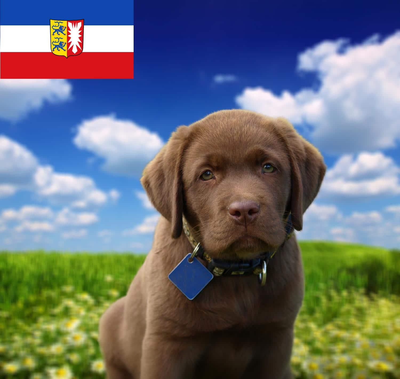 Labrador Züchter und Welpen in Schleswig-Holstein