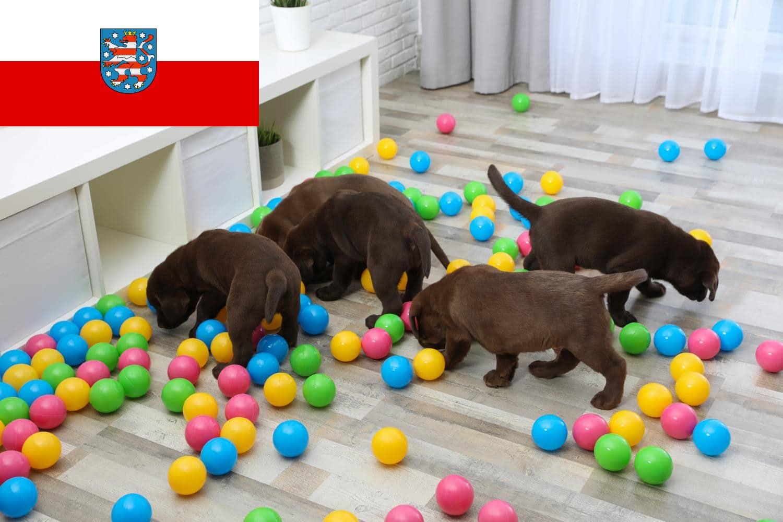 Labrador Züchter und Welpen in Thüringen