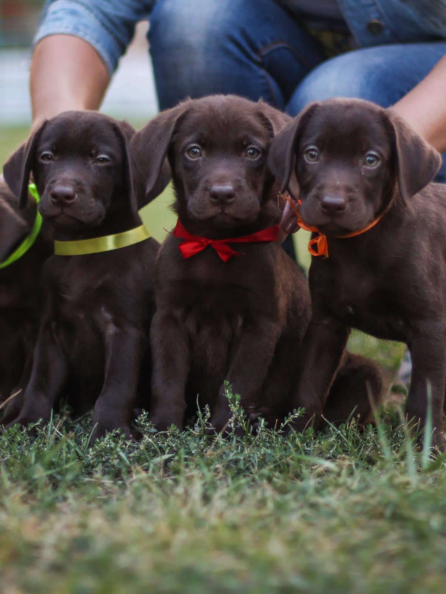 Labrador Welpen - so findest Du gesunde Welpen in Deiner Nähe!