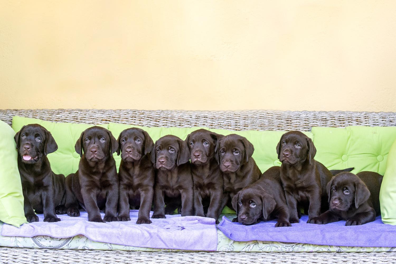 Labrador Züchter in Deiner Nähe. Finde einen seriösen Labrador Züchter!