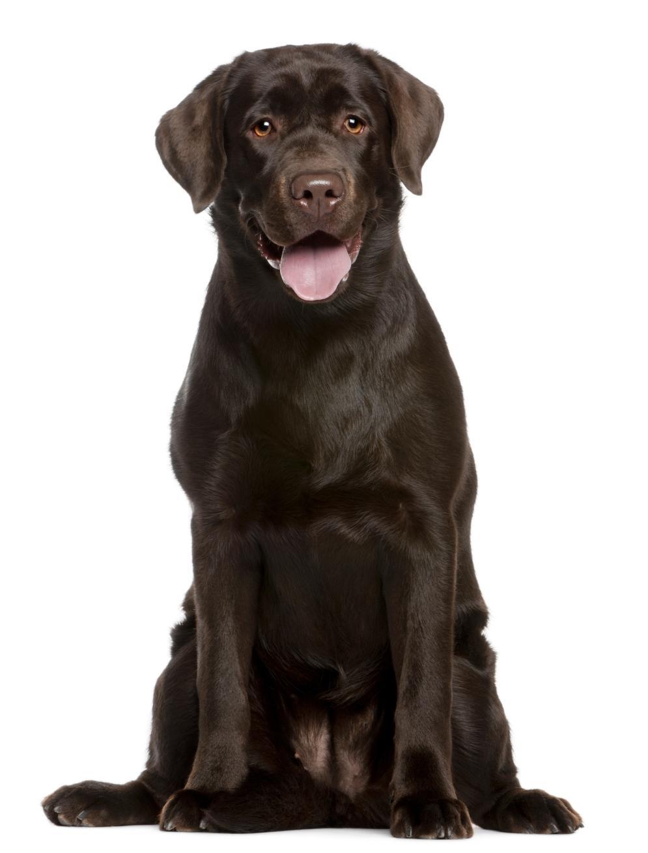 Der Labrador Retriever - Ein Steckbrief
